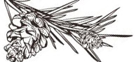логотип шишка
